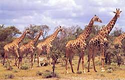 Etosha Giraffen